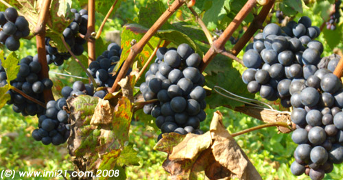Burgundy pinot noire grapes